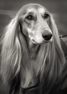 Saluki. I really wanted one of these when I was a kid. Now I know to never get a dog that needs daily brushing. Unless I want the dog to grow dreads.