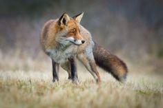 Red Fox by Wim Dirckx