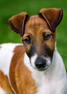 Ohhhh my goodness. Look at this beautiful Smooth Fox Terrier Puppy!