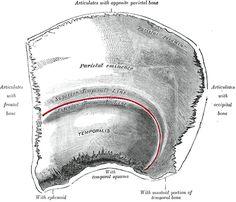 The Parietal Bone - Human Anatomy