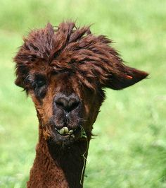 Llamas With Afros 1000+ images ab...
