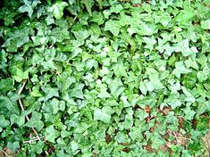 Ivy (Hedera) is a plant everyone knows. Widely used as a ground cover, it also makes a great hanging houseplant. English ivy (Hedera helix) is hardy from USDA Zones 4 to while. Garden Shrubs, Garden Plants, House Plants, Tree Garden, Garden Gate, Flower Gardening, Container Gardening, Ivy Plants, Indoor Plants