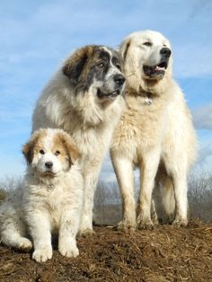 Ask the Shepherd~Livestock Guardian Dogs with Hannah Smith - Living with Gotlands Cute Funny Animals, Cute Dogs, Great Pyrenees Dog, Pyrenees Puppies, Corgi Puppies, Hachiko, Dog Boarding, Mountain Dogs, Dog Quotes