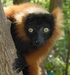 90% of lemurs are threatened. The red-ruffed lemur (Varecia rubra) © Conservation International/photo by Russell A. Mittermeier