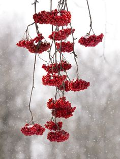 red mountain ash berries hang low during a snow fall in Montreal I See Red, Gray Aesthetic, Aesthetic Collage, Red Cottage, Winter Wallpaper, Winter Pictures, Tumblr, White Picture, Winter Springs