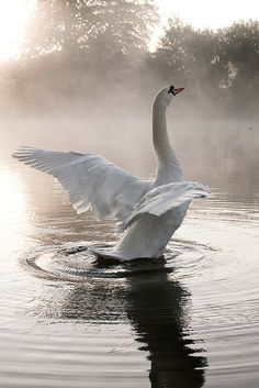 A swan beats his wings on a crisp and foggy autumn morning. Beautiful Swan, Beautiful Birds, Animals Beautiful, Animal Photography, Nature Photography, Animals And Pets, Cute Animals, Tier Fotos, Swan Lake