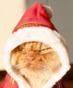 Move over Grumpy Cat, the internet has a new sensation: a Persian cat named Garfi, better known as Angry Cat. Living in Turkey with his owner Hulya Ozkok Funny Animal Pictures, Funny Animals, Cute Animals, Funny Cats, Animals Images, Christmas Animals, Christmas Cats, Merry Christmas, Christmas Mood