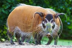 pictures of red hogs and pigs | The Brightly Colored Red River Hogs