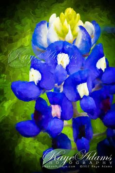 Texas Bluebonnet, shot in Ellis County, TX  taken into Photoshop and made it look like a painting.