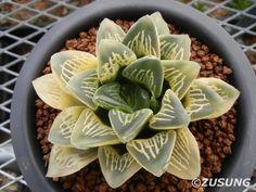 Haworthia comptonia hyb. variegated | por Zusung