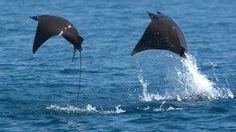Mobula rays in flight, Sea of Cortez, Mexico