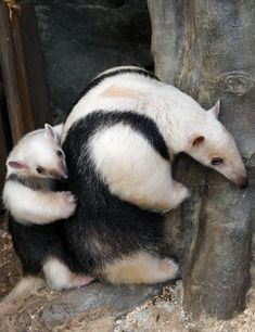 ˚A three-month-old baby Southern Tamandua 'Konbu' lies on its mother Tae