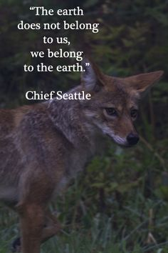 """The earth does not belong to us, we belong to the earth.""  -- Chief Seattle – (Image by Florence McGinn) -- Research demonstrates wild coyotes survive in urban environments.  At EcoSummit 2012, Professor Stan Gehrt presents research on the urban coyotes community near Chicago's O'Hare International Airport.   Learn more at http://www.examiner.com/article/wild-coyotes-at-home-chicago-s-suburbs"