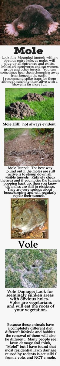 Moles vs Voles: Know your enemy before annihilation.