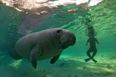 Awww, manatees are so cute. But with their cuteness, comes their slowness, which means they are at risk of being hit by boats. Climate change isn't helping their situation, either. These beautiful photos show what they are up against.
