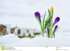 Image result for images spring crocus in snow