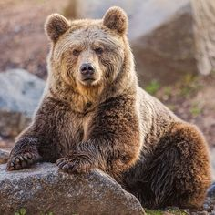 Brown bear (Ursus arctos) by Jean-Claude Sch. Animals Of The World, Animals And Pets, Cute Animals, Ours Grizzly, Grizzly Bears, Urso Bear, Bear Species, The Bear Family, Bear Paintings