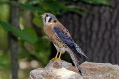 https://flic.kr/p/eaiGGP | Kestrel_RGB3412 | Kestrel perched on a rock at the World Bird Sanctuary.