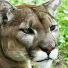 There are only abou100 of threse Florida panthers left.