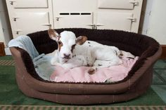 By Emma Reynolds Udderly adorable: Three-week-old Clementine sleeps in a dog basket and is looked after by the farm's collie and labradood. Cute Baby Animals, Farm Animals, Wild Animals, Beautiful Creatures, Animals Beautiful, Sweet Cow, Mini Cows, Mini Farm, Smaller Calves