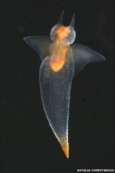 Sea Angel (Clione limacine) (with no tentacles out) is a swimming sea slug. It lives under the Arctic ice and feeds exclusively on Sea Devils.