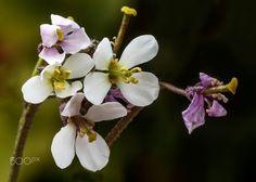 Malas hierbas, nunca mueren - Flora de la Península Iberica Brassicaee