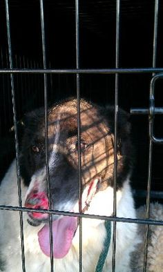 Photo of 30ate Found:Jul 1, 2013  Found Location: (Valentine Cres) Red Deer, Alberta, Canada Found Notes:Dog is wearing a collar but not tags. Does not have a tattoo or microchip.   WT: 34.9KG  Found on Valentine Cres, Red Deer, AB.   Dog is extremely matted and has an injury to its nose, or skin condition. If You Have Lost This Pet Contact:  Alberta Animal Services Alberta Animal Services Email: info@albertaanimalservices.ca Phone: 1 (866) 340-2388 Shelter Reference #: 30055055