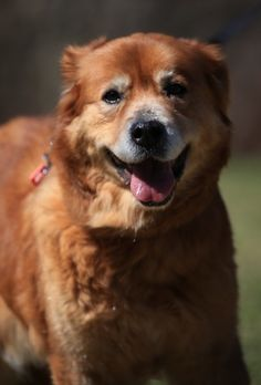 This is Leia an approx 8-9 yr old Golden mix. She was found as a stray - in the shelter she was passed over over many times and started stressing - rescue stepped up to take her. She is spayed, curren on vaccinations, potty trained, has good house manners, walks well on leash, rides well in a car, knows a few commands. Needs to be the only dog in the house. Sunshine GRR, CT. - http://www.sunshinegoldenrescue.com/leia.html