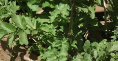 Can This Vegetable Be the Cure for Lung Cancer? | Healthy Holistic Living