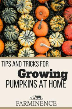 Pumpkin Trellis, Pumpkin Garden, Autumn Garden, Pumpkin Plants, Pumpkin Vegetable, Grow Pumpkins From Seeds, Planting Pumpkins, How To Grow Pumpkins, Gardening For Beginners