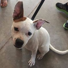 LUBBOCK, TX - **SPANKY** is an adoptable Dog - Pit Bull Terrier Mix searching for a forever family near Lubbock, TX. Use Petfinder to find adoptable pets in your area.