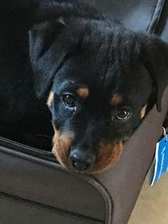 Cuteness overload. #rottweiler