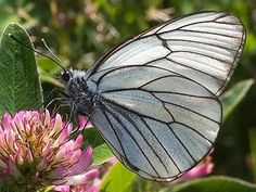 A black-veined white butterfly Photo: Photo: Per-Olof Wickman/NatureGate Butterfly Photos, White Butterfly, Beautiful Butterflies, Moth, Scenery, Illustration, Nature, Plants, Pictures