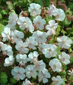 Geranium x cantabrigense 'St Ola'