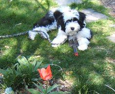 My Tibetan Terrier Terrier Dogs, Terriers, Tibetan Terrier, Afghan Hound, Lhasa, Evie, Best Dogs, Galleries, Dog Breeds