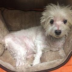 Oak Ridge, New Jersey - Maltese. Meet Ollie, a for adoption. https://www.adoptapet.com/pet/19889021-oak-ridge-new-jersey-maltese-mix