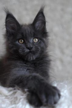 Do Maine Coon Cats Shed hair from their fur coats? Find out how to reduce shedding in your home by grooming Maine Coons and keeping your cats fur clean. Animals And Pets, Baby Animals, Funny Animals, Cute Animals, Pretty Cats, Beautiful Cats, Animals Beautiful, Cute Cats And Kittens, Kittens Cutest