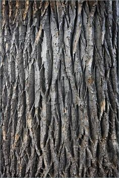 Image of texture of a giant cottonwood tree trunk with vertical bark patterns