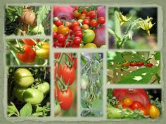 Time to plant tomato seeds. Photos from my backyard garden.