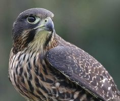 New Zealand Falcon! my fav bird of prey! maybe get the mottling from her wing and put tattoo it on my shoulder blade New Zealand Tours, New Zealand Art, New Zealand Mountains, Kiwiana, Colorful Birds, Colorful Animals, Reptiles And Amphibians, Birds Eye View, Birds Of Prey