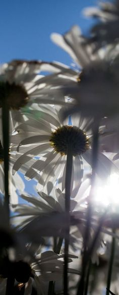 Daisies -- My kind of photo...lying on the ground looking up. Love it. Thanks for sharing....
