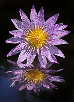 Purple Sunrise, Waterlily ~ the birth flower for July <3