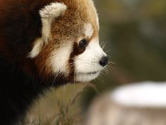 I think red pandas are so pretty!
