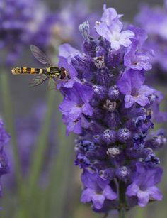 Bee Pollinating Time - Loving the Lavender
