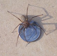 Brown Recluse Spider, female...bad spider... I had one on my bedroom wall the other day...