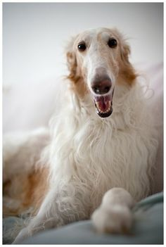 Borzoi by Peter Marek Borzoi Dog, Whippets, Russian Wolfhound, Rare Dog Breeds, Group Of Dogs, Different Dogs, Grey Hound Dog, Dogs And Puppies, Doggies