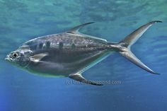 A SeaWorld snap. If it's not a Mackerel, please  tell me.