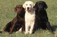 Black Lab and Chocolate Labrador Retriever