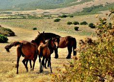 "Sardinian Anglo-Arabian breed, also known as the ""Sardo"" has been bred on Sardinia since the century. Sardinia Holidays, Italy Holidays, My Land, Horse Breeds, 16th Century, Italy Travel, Equestrian, Cool Photos, Horses"