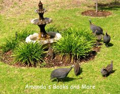 Guineafowl in my Garden, South Africa ~ Amandas Books and More